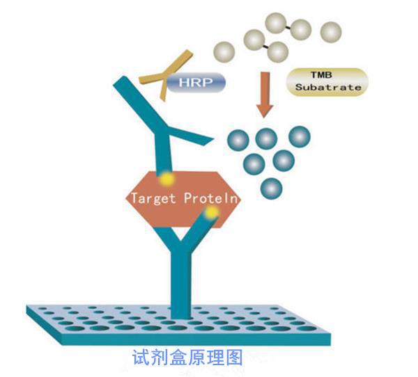人二磷酸腺苷ADPELISA试剂盒