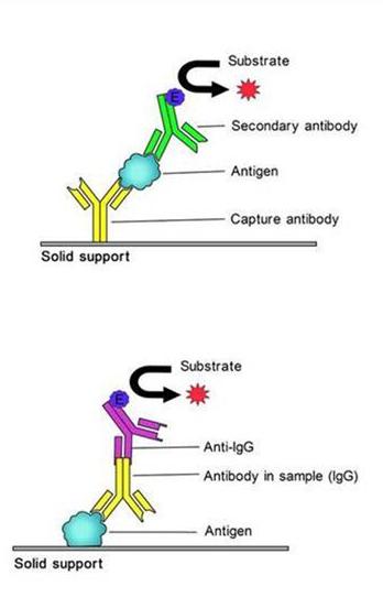 小鼠髓过氧化物酶特异性抗中IgG检测试剂盒
