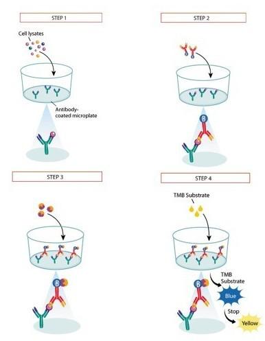 小鼠黑色素细胞抗体检测试剂盒